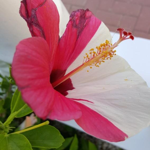 2-färgad hibiskus i vår trädgård.