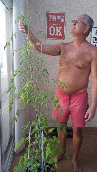 Stor tomatplanta.